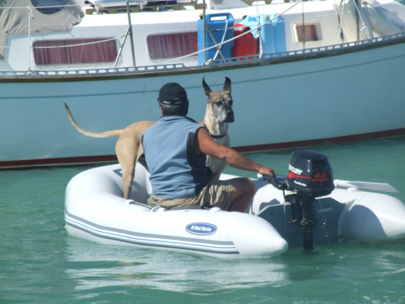 Super-size your  Dinghy Dog: Gentle beast Caesar enjoys riding through the mooring field in Boot Key Harbor, Marathon, Florida.